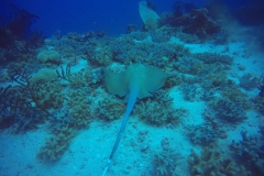 Sting Ray diving